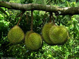 Manfaat Daun Durian
